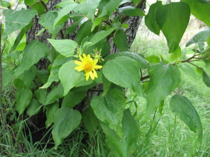 canyon sunflower (venegasia carpesioides)