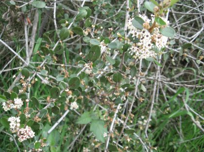 buck brush shrub (ceanothus cuneatus)