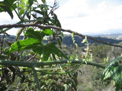 wild cucumber tendril